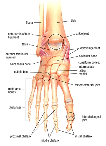 ottawa ankle joint